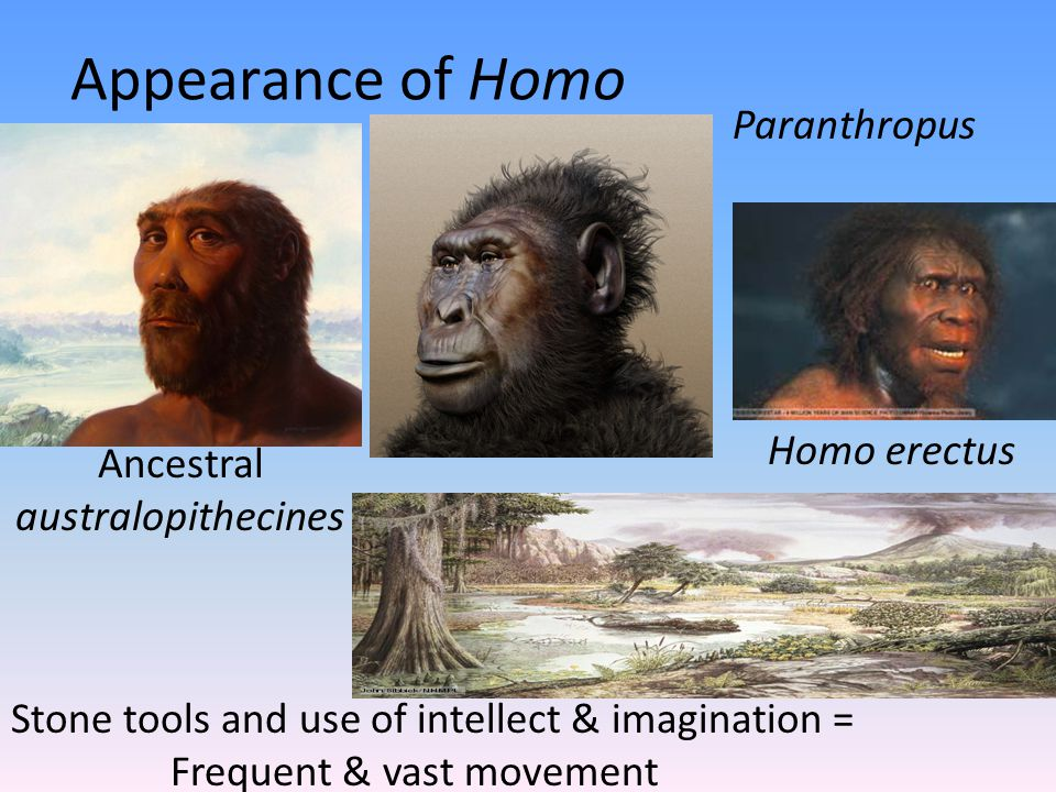 Appearance of Homo Ancestral australopithecines Paranthropus Homo erectus Stone tools and use of intellect & imagination = Frequent & vast movement