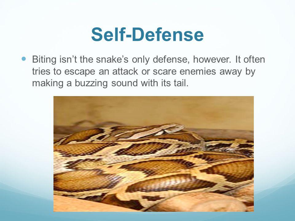 Self-Defense Biting isn't the snake's only defense, however.