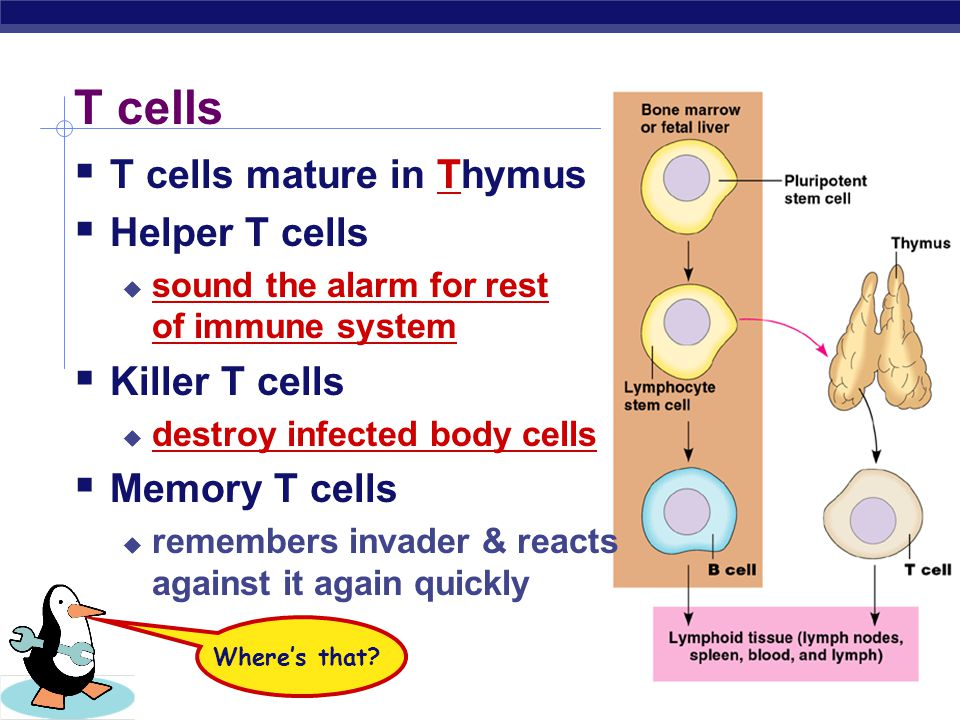 2006-2007 What if the attacker gets past the B cells in the blood & infects some of your cells? You need trained assassins to kill off these infected