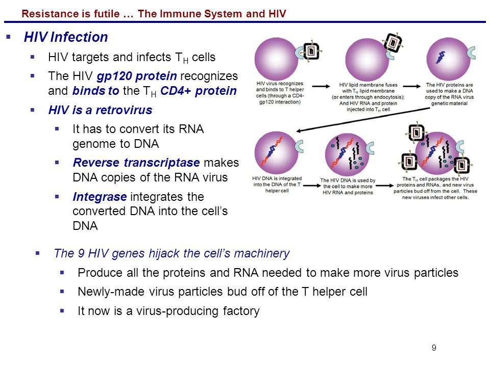 Resistance is futile … The Immune System and HIV 9  HIV Infection  HIV targets and infects T H cells  The HIV gp120 protein recognizes and binds to the T H CD4+ protein  HIV is a retrovirus  It has to convert its RNA genome to DNA  Reverse transcriptase makes DNA copies of the RNA virus  Integrase integrates the converted DNA into the cell's DNA  The 9 HIV genes hijack the cell's machinery  Produce all the proteins and RNA needed to make more virus particles  Newly-made virus particles bud off of the T helper cell  It now is a virus-producing factory