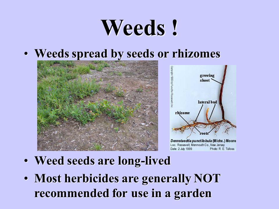 Weeds ! Weeds spread by seeds or rhizomesWeeds spread by seeds or rhizomes Weed seeds are long-livedWeed seeds are long-lived Most herbicides are gene