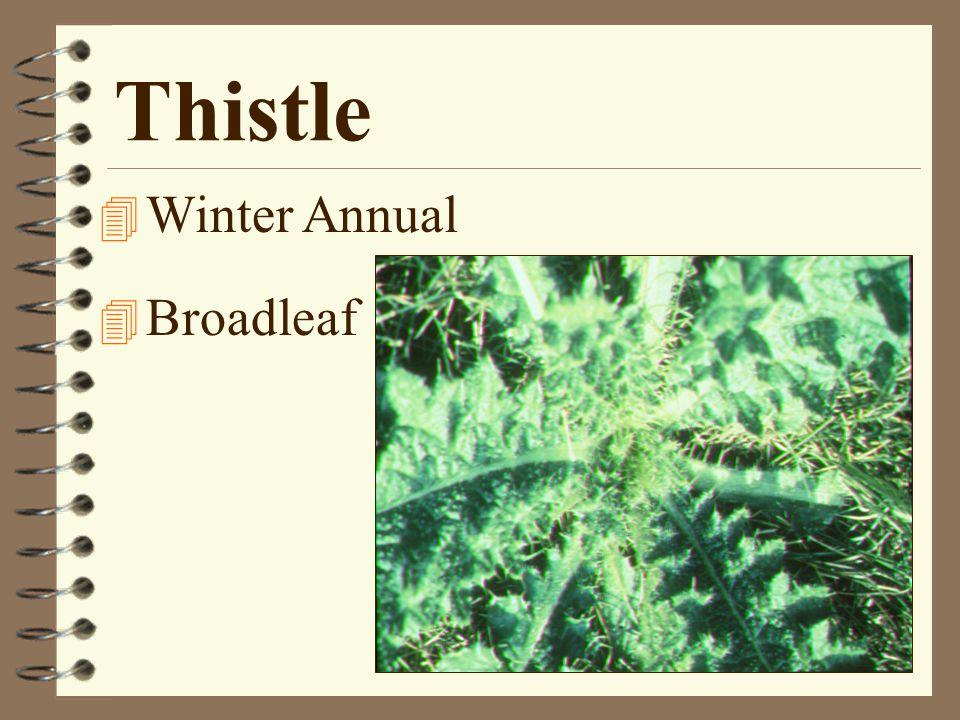 Thistle 4 Winter Annual 4 Broadleaf