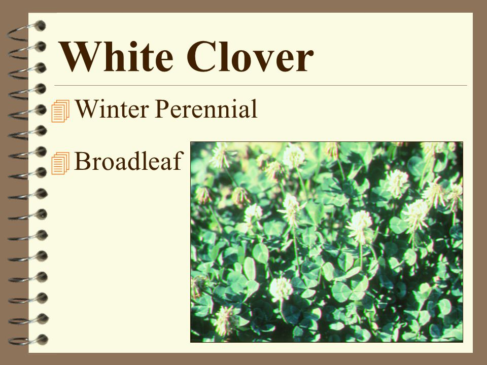 White Clover 4 Winter Perennial 4 Broadleaf