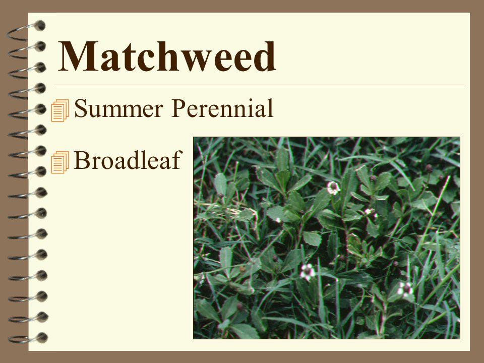 Matchweed 4 Summer Perennial 4 Broadleaf