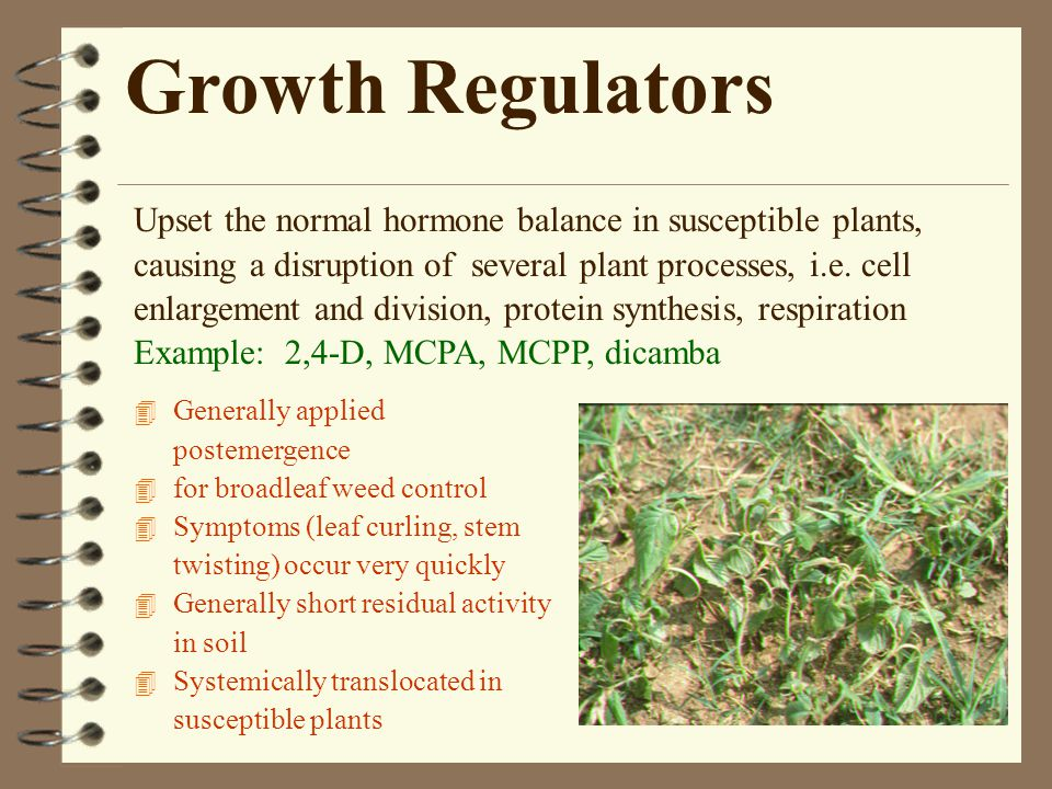 Growth Regulators 4 Generally applied postemergence 4 for broadleaf weed control 4 Symptoms (leaf curling, stem twisting) occur very quickly 4 Generally short residual activity in soil 4 Systemically translocated in susceptible plants Upset the normal hormone balance in susceptible plants, causing a disruption of several plant processes, i.e.