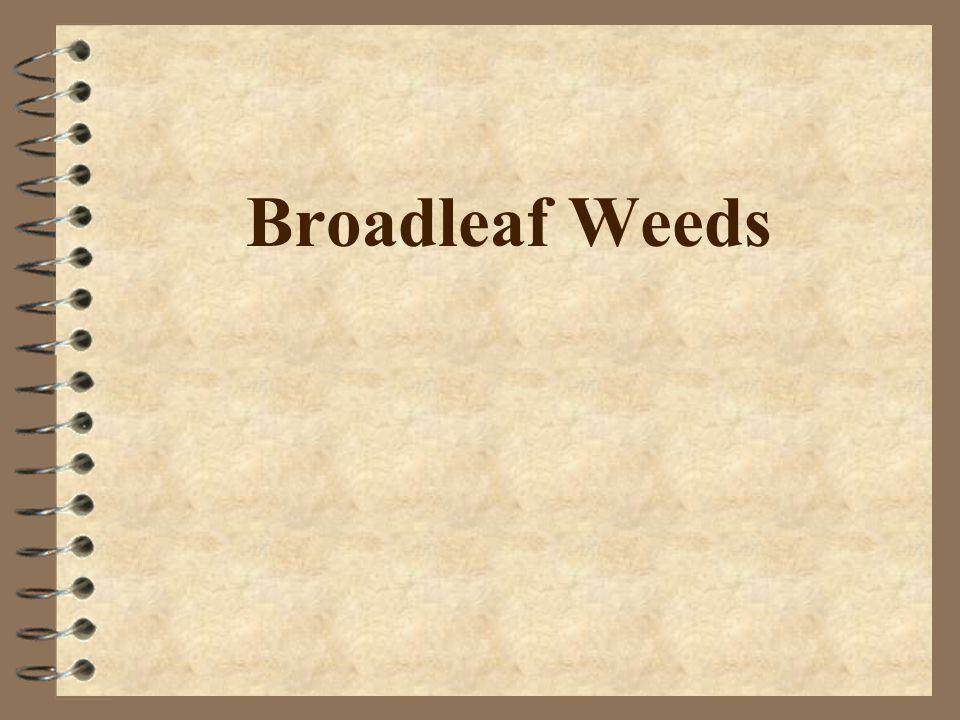 Broadleaf, Perennials 4 Postemerge –Hormone-type herbicides