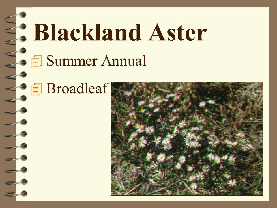 Blackland Aster 4 Summer Annual 4 Broadleaf