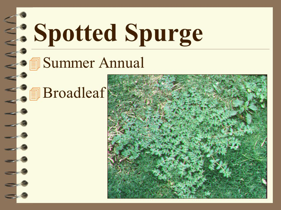 Spotted Spurge 4 Summer Annual 4 Broadleaf