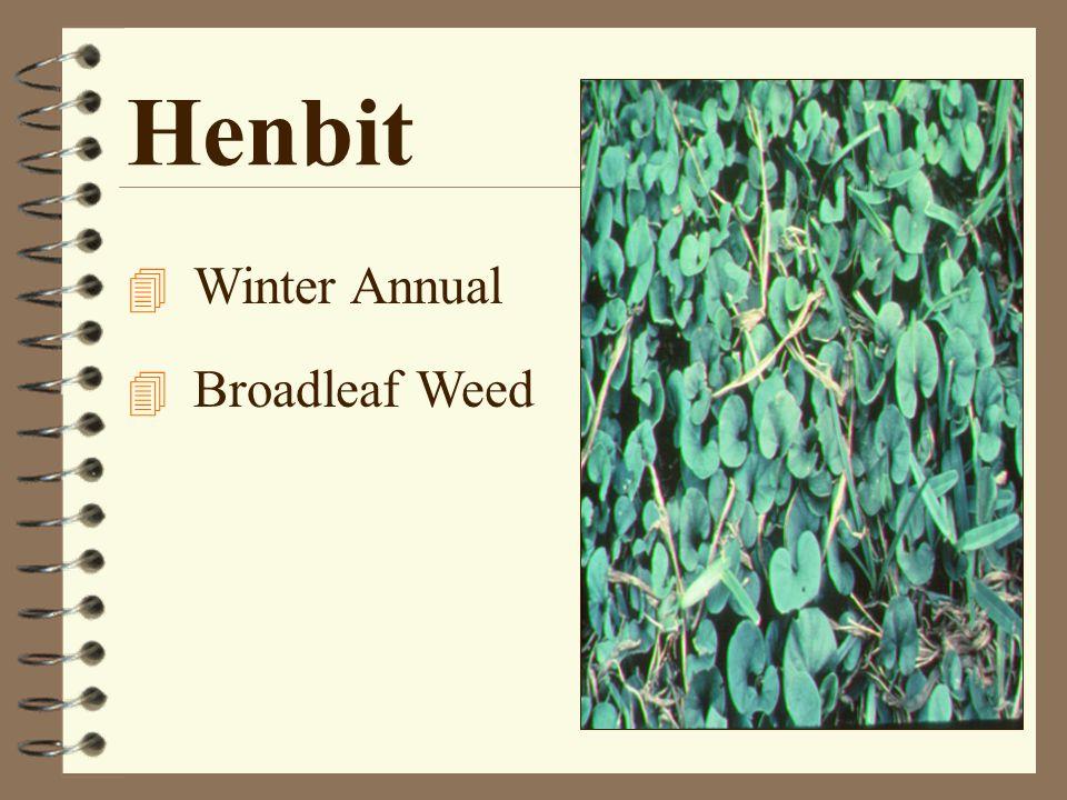Henbit 4 Winter Annual 4 Broadleaf Weed