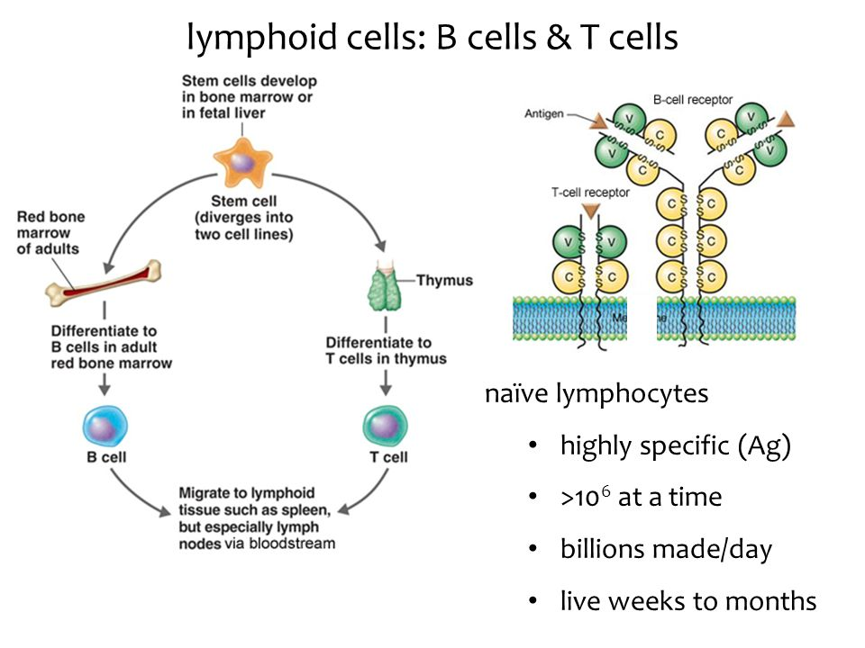 lymphoid cells: B cells & T cells naïve lymphocytes highly specific (Ag) >10 6 at a time billions made/day live weeks to months