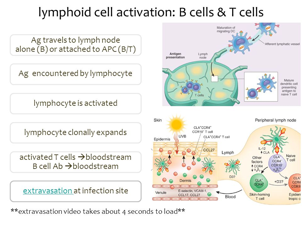 lymphoid cell activation: B cells & T cells Ag travels to lymph node alone (B) or attached to APC (B/T) Ag encountered by lymphocyte lymphocyte is activatedlymphocyte clonally expands activated T cells  bloodstream B cell Ab  bloodstream extravasation extravasation at infection site **extravasation video takes about 4 seconds to load**