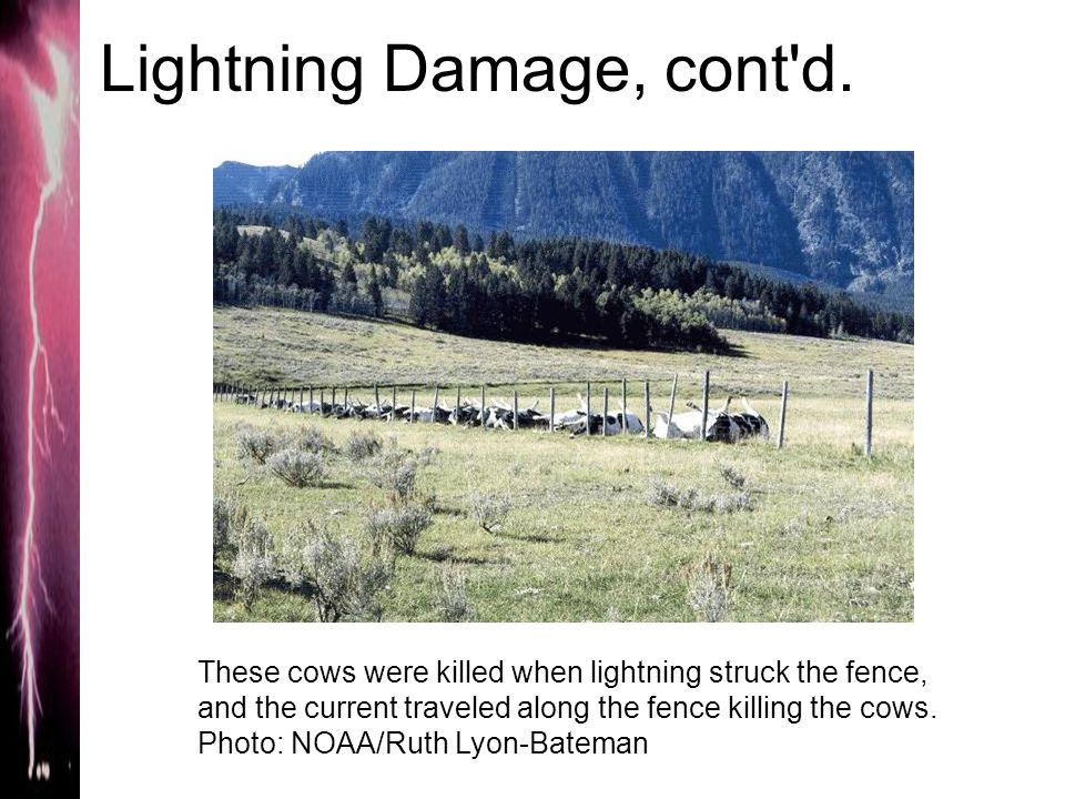 Lightning Damage, cont'd. These cows were killed when lightning struck the fence, and the current traveled along the fence killing the cows. Photo: NO