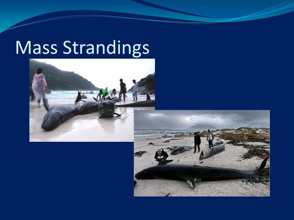 Mass Strandings
