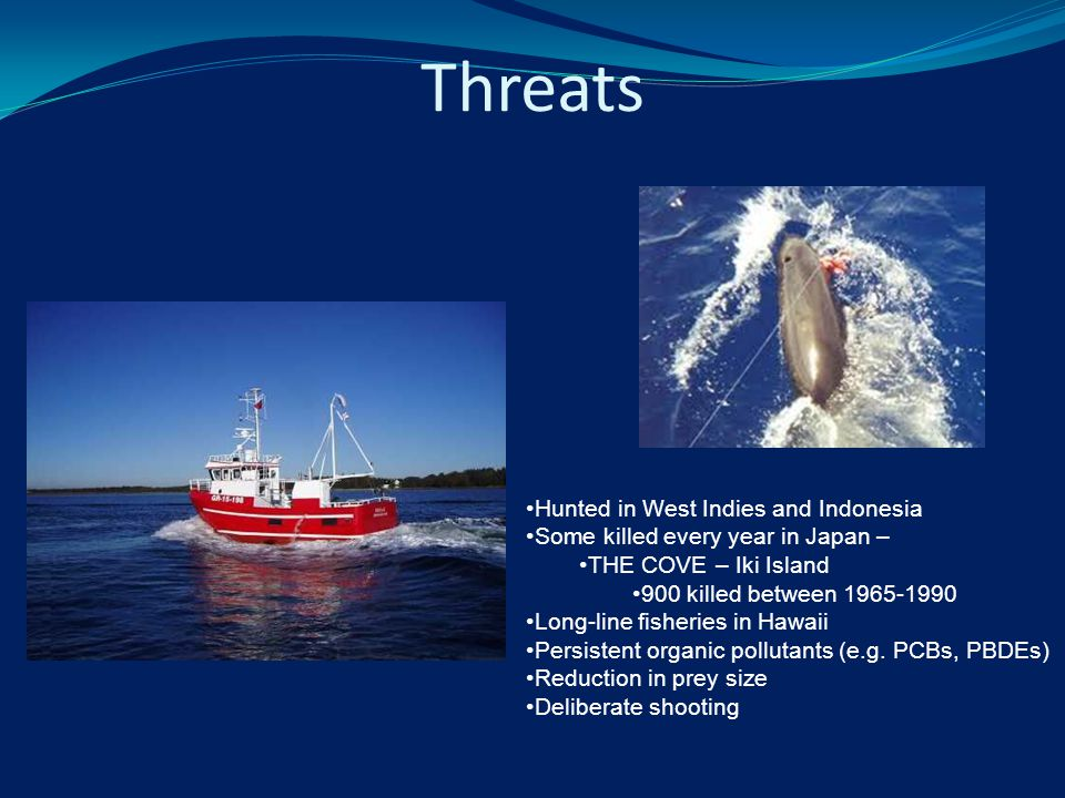 Threats Hunted in West Indies and Indonesia Some killed every year in Japan – THE COVE – Iki Island 900 killed between 1965-1990 Long-line fisheries in Hawaii Persistent organic pollutants (e.g.