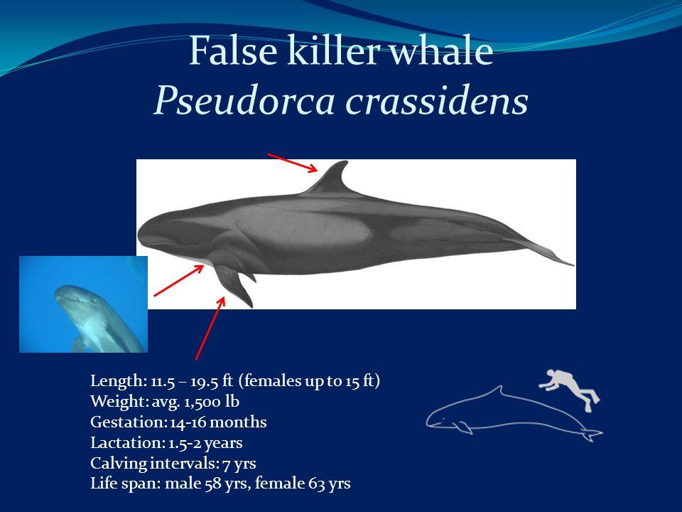 False killer whale Pseudorca crassidens Length: 11.5 – 19.5 ft (females up to 15 ft) Weight: avg.