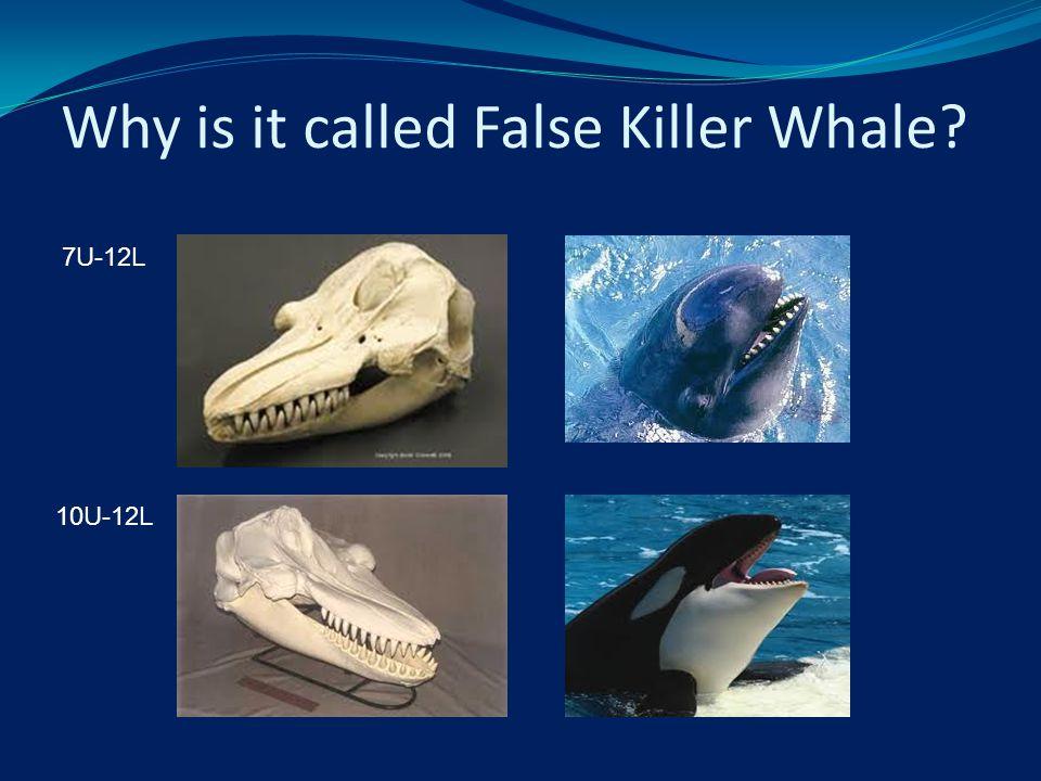 Why is it called False Killer Whale? 7U-12L 10U-12L