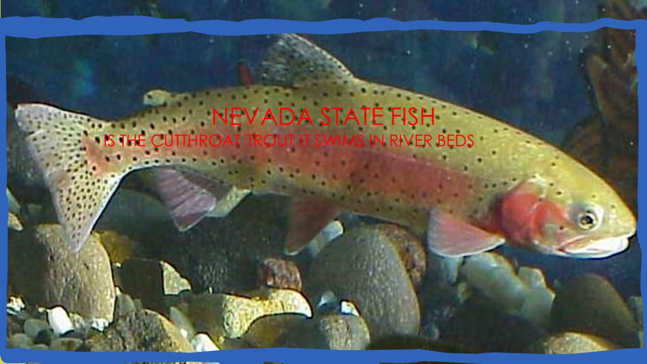 NEVADA STATE FISH IS THE CUTTHROAT TROUT IT SWIMS IN RIVER BEDS