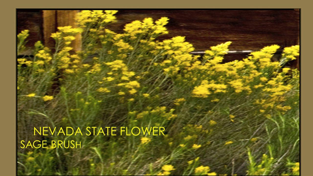 NEVADA STATE FLOWER SAGE BRUS H