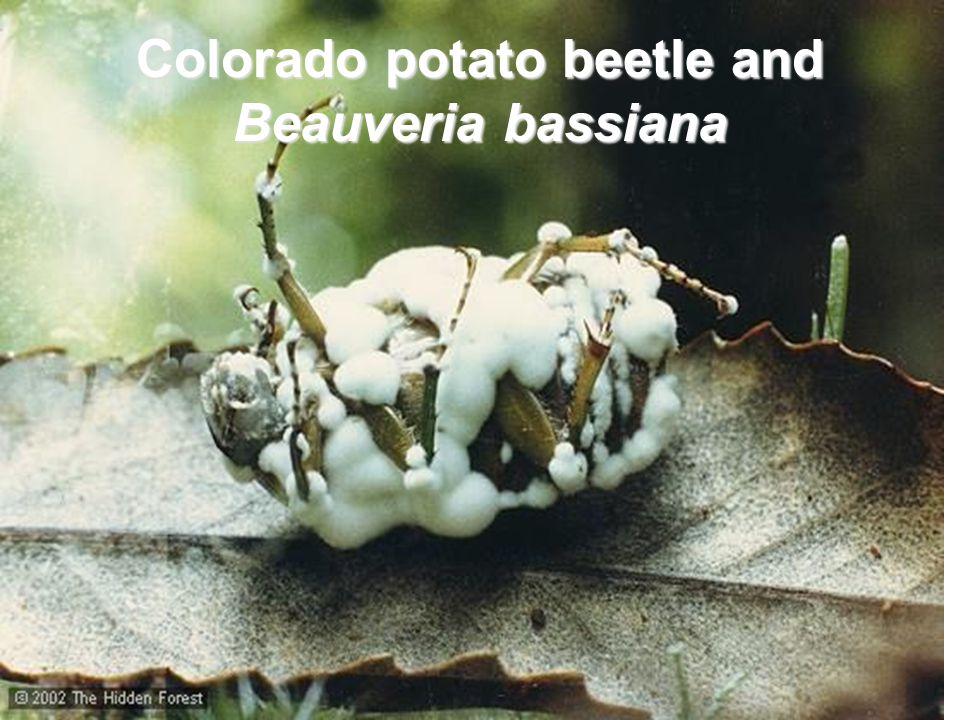 Colorado potato beetle and Beauveria bassiana