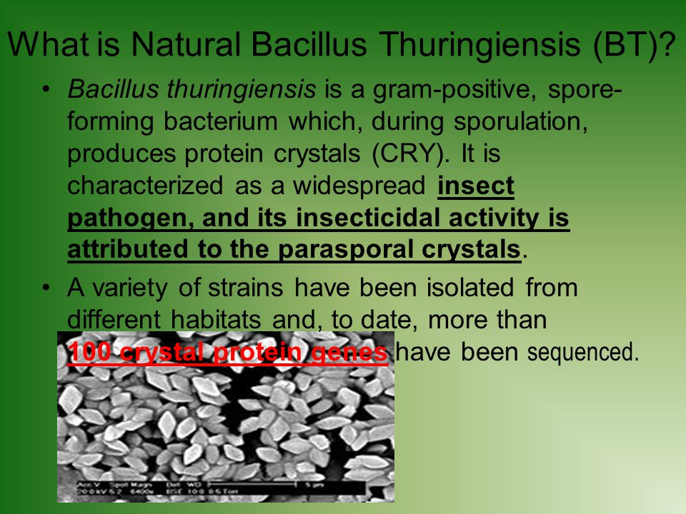 What is Natural Bacillus Thuringiensis (BT).