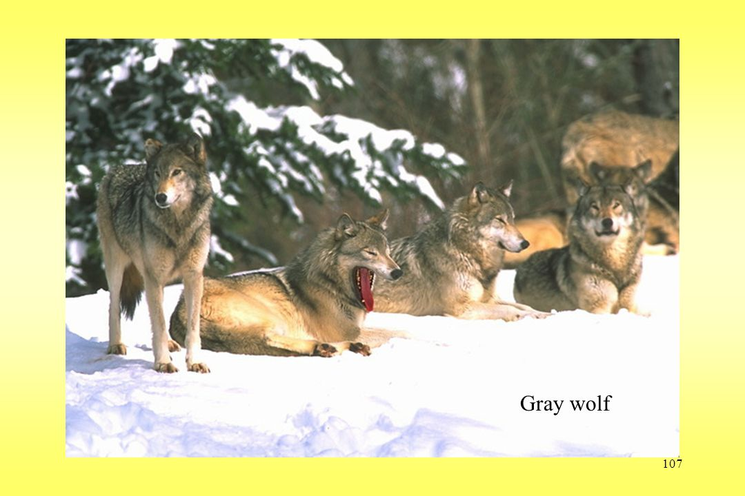 107 Wolf Gray wolf