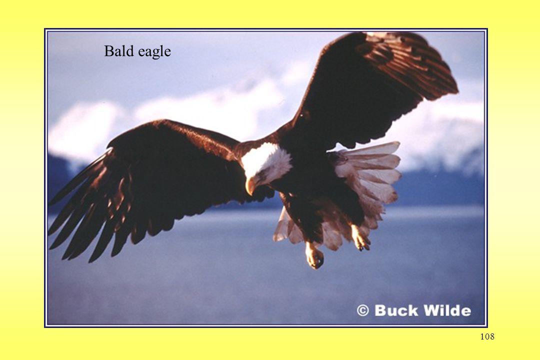 108 Bald eagle