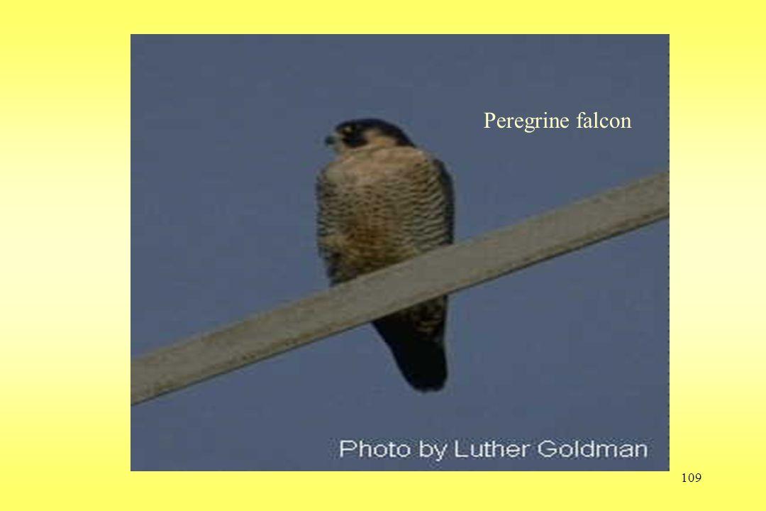 109 Peregrine falcon