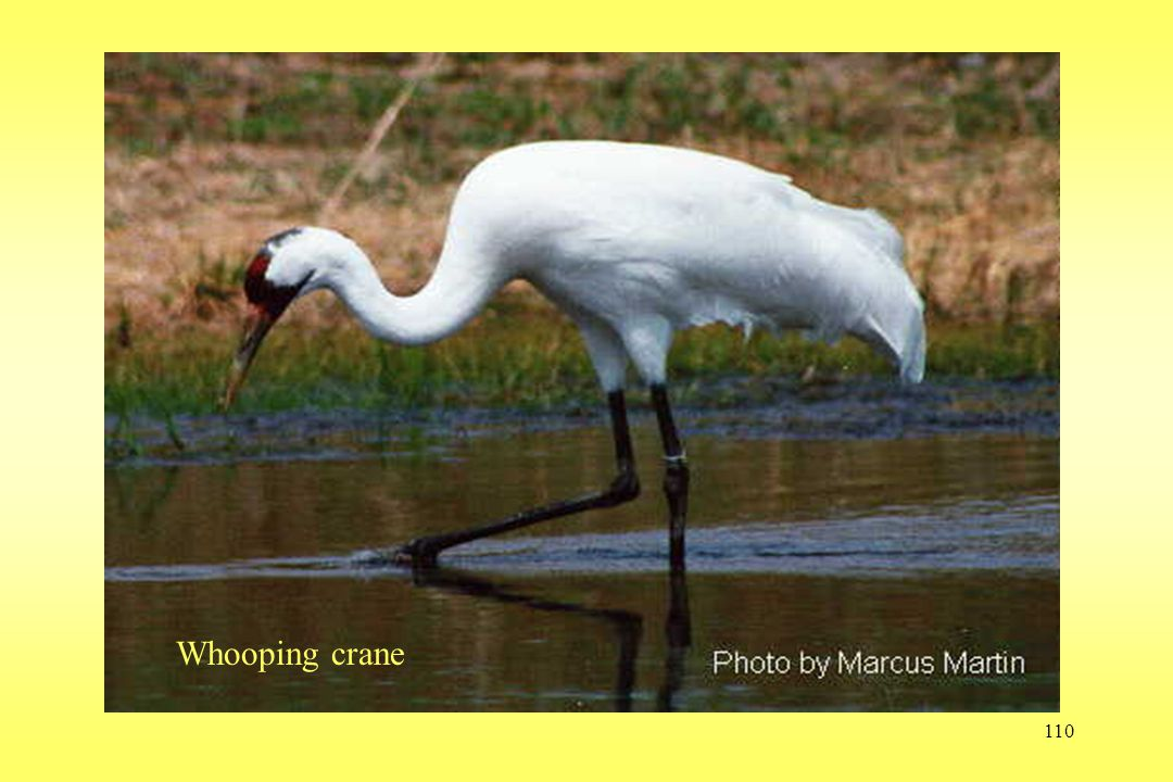 110 Whooping crane