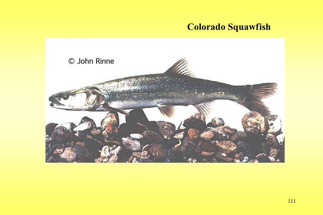 111 Wolf Colorado Squawfish