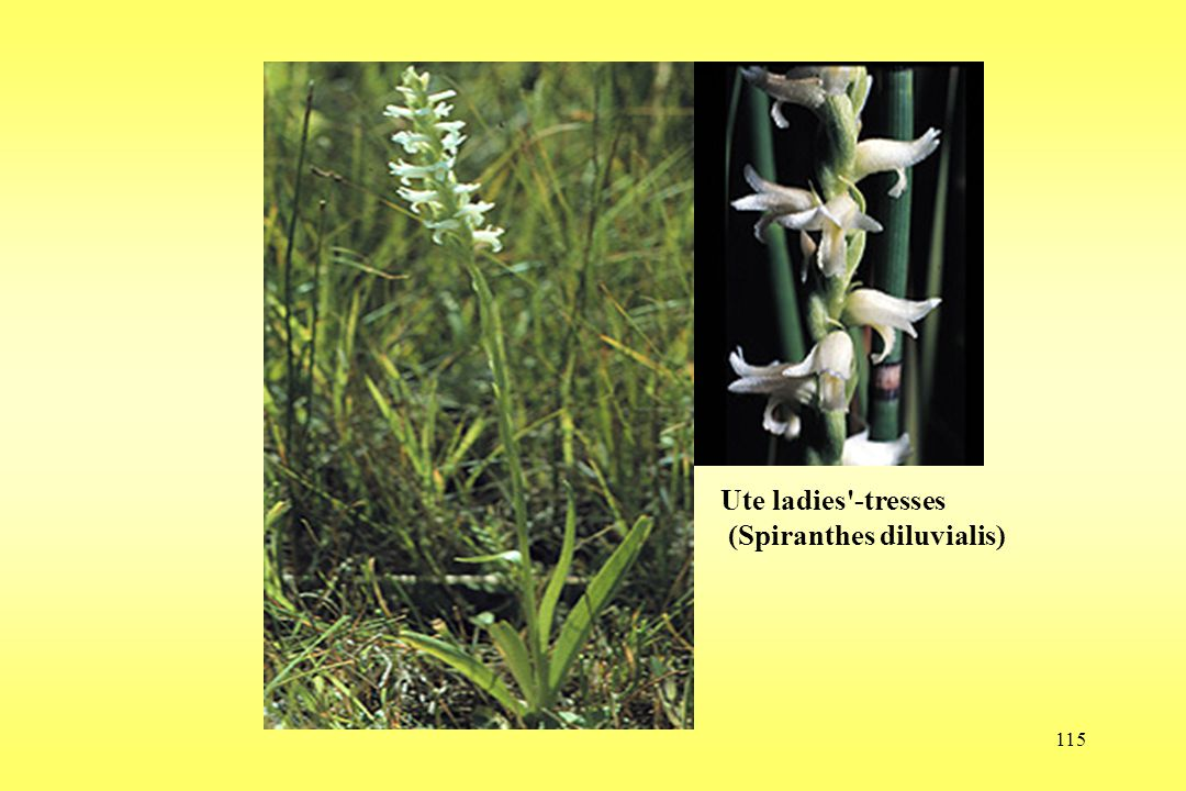 115 Ute ladies'-tresses (Spiranthes diluvialis)