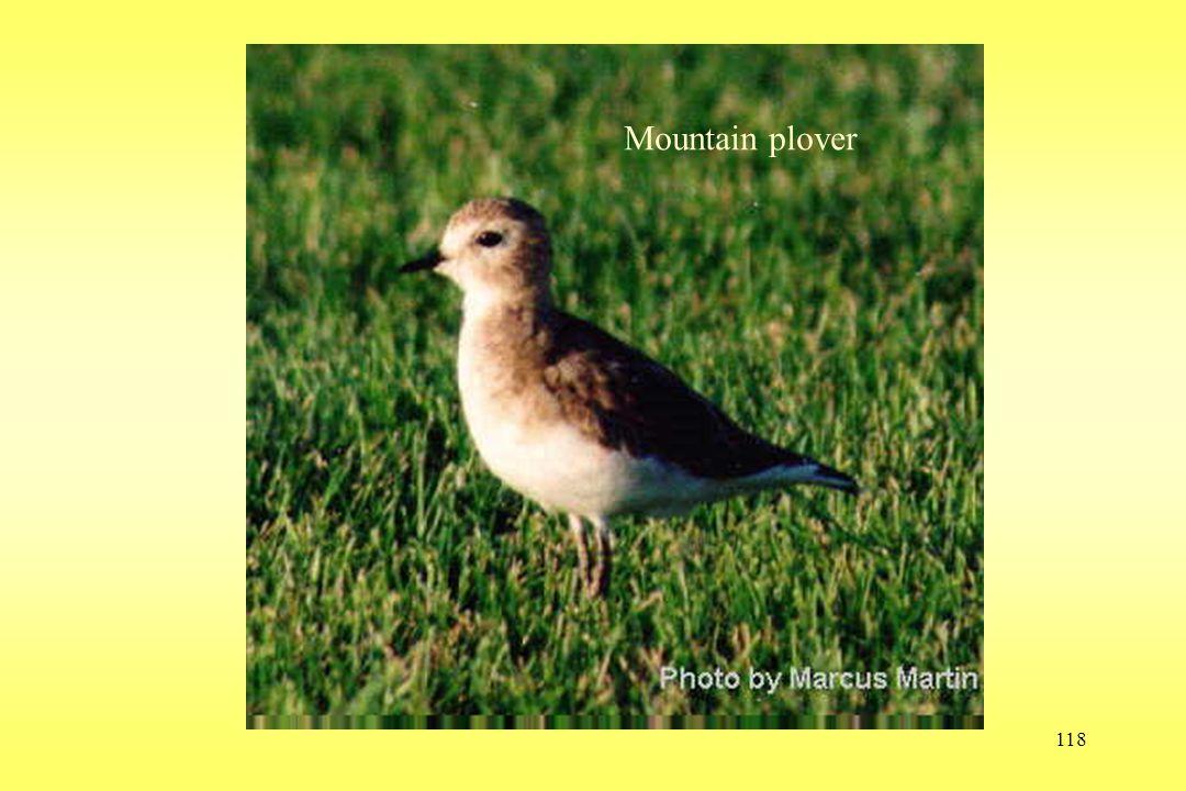 118 Mountain plover