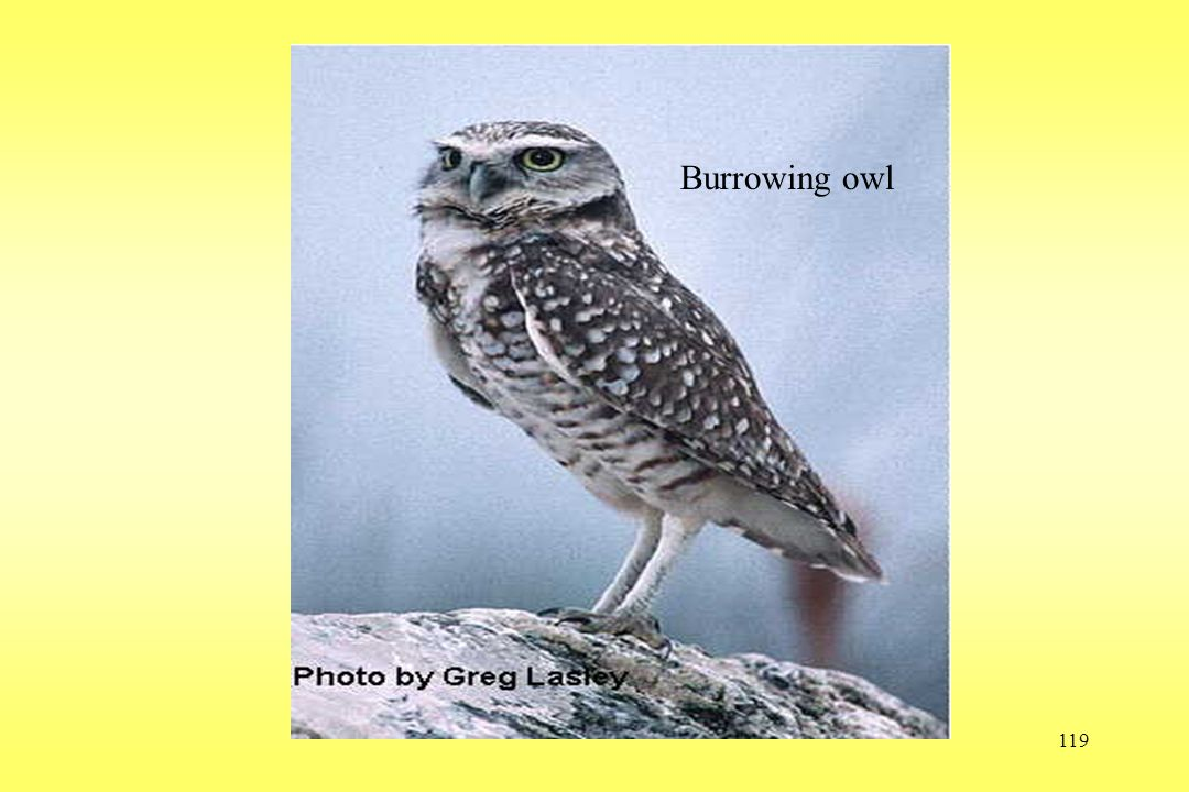 119 Burrowing owl