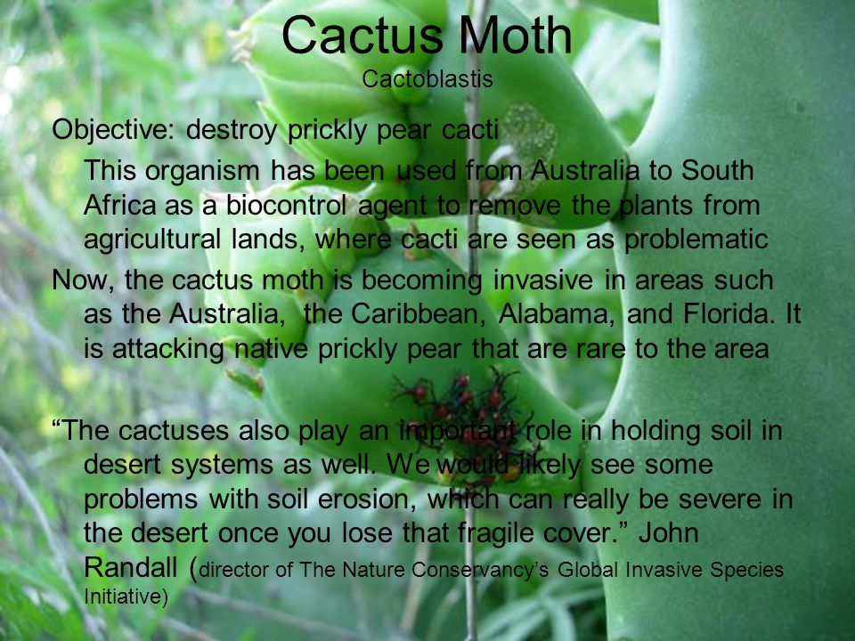 Cactus Moth Cactoblastis Objective: destroy prickly pear cacti This organism has been used from Australia to South Africa as a biocontrol agent to remove the plants from agricultural lands, where cacti are seen as problematic Now, the cactus moth is becoming invasive in areas such as the Australia, the Caribbean, Alabama, and Florida.
