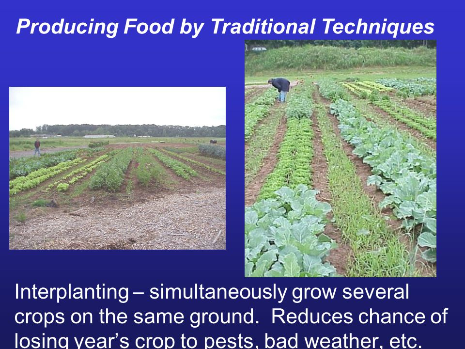 Interplanting – simultaneously grow several crops on the same ground. Reduces chance of losing year's crop to pests, bad weather, etc. Producing Food