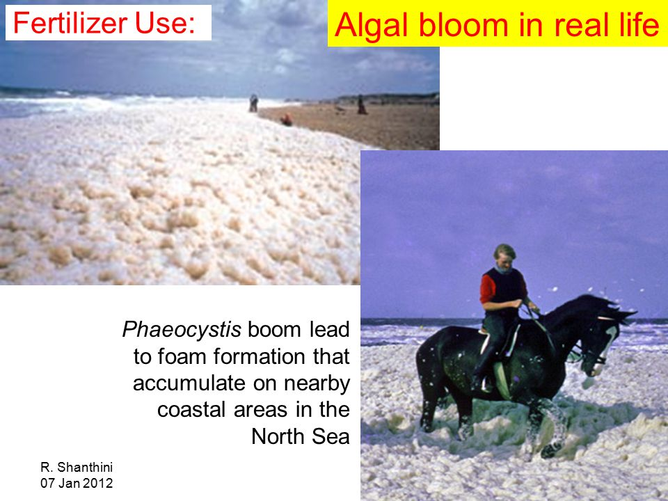 R. Shanthini 07 Jan 2012 Phaeocystis boom lead to foam formation that accumulate on nearby coastal areas in the North Sea Algal bloom in real life Fer