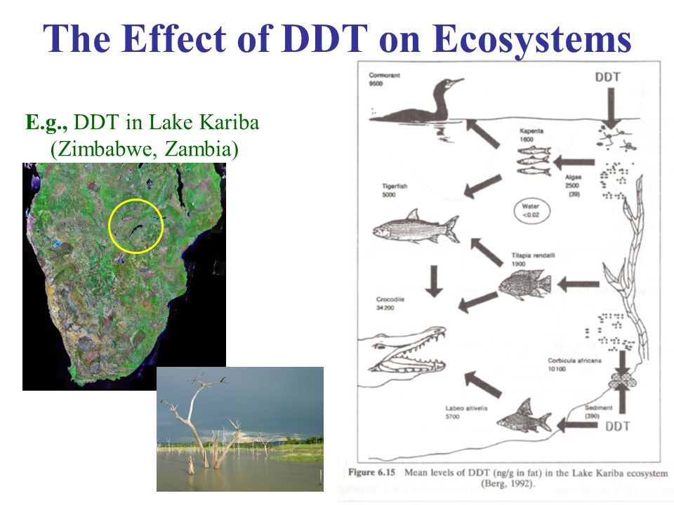 13 The Effect of DDT on Ecosystems E.g., DDT in Lake Kariba (Zimbabwe, Zambia)