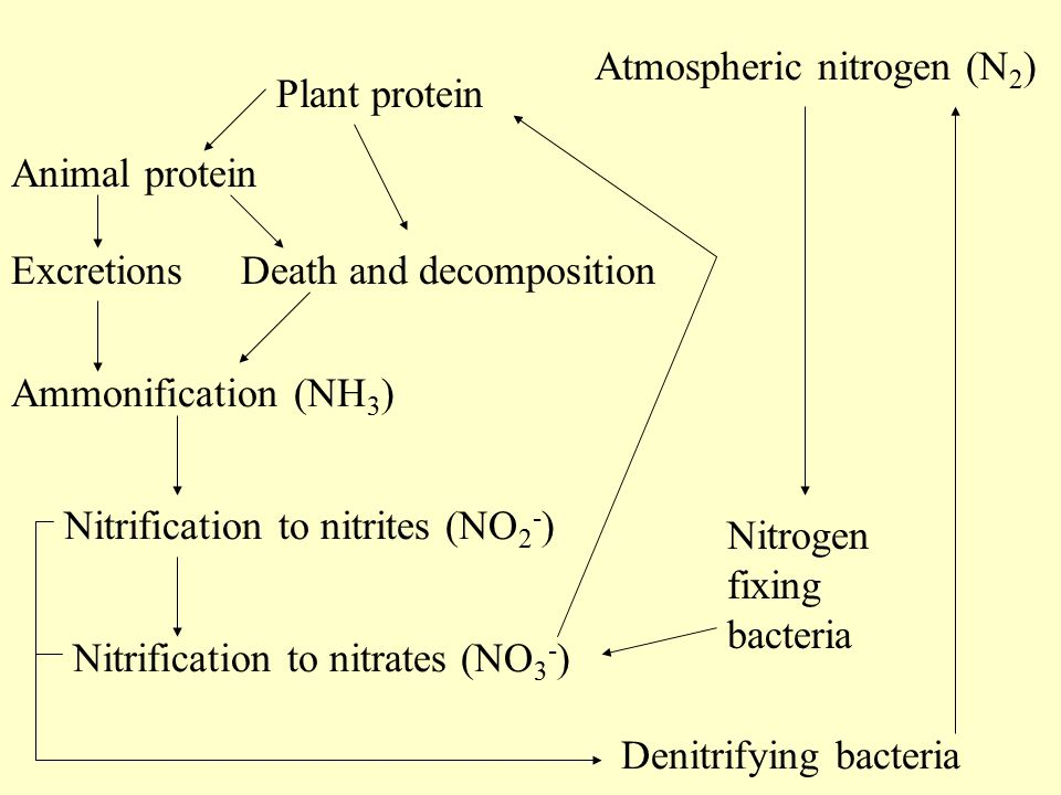 Atmospheric nitrogen (N 2 ) Plant protein Animal protein Death and decompositionExcretions Ammonification (NH 3 ) Nitrification to nitrites (NO 2 - ) Nitrification to nitrates (NO 3 - ) Denitrifying bacteria Nitrogen fixing bacteria