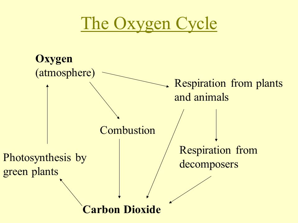 The Oxygen Cycle Oxygen (atmosphere) Respiration from plants and animals Respiration from decomposers Combustion Carbon Dioxide Photosynthesis by green plants