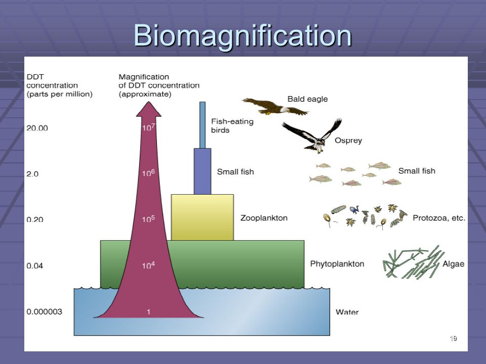 Biomagnification 19