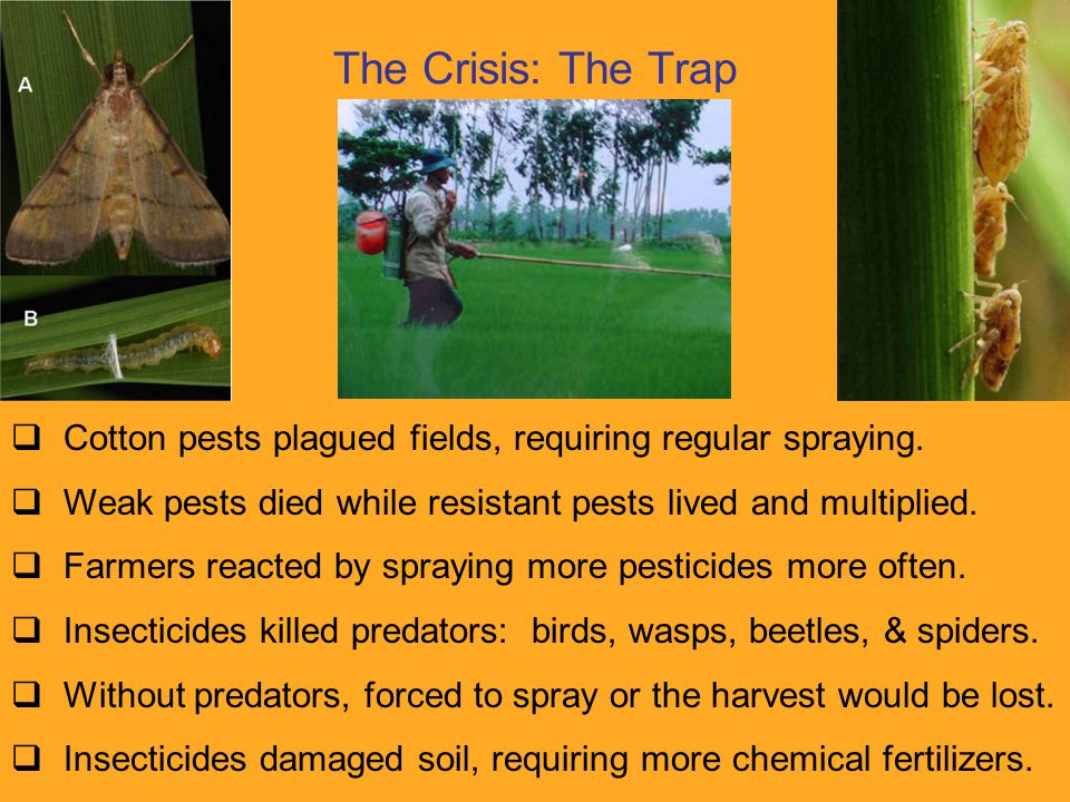 The Crisis: The Trap  Cotton pests plagued fields, requiring regular spraying.