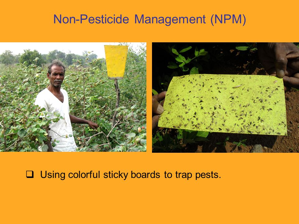  Planting 'trap crops' to attract pests away from the cotton.