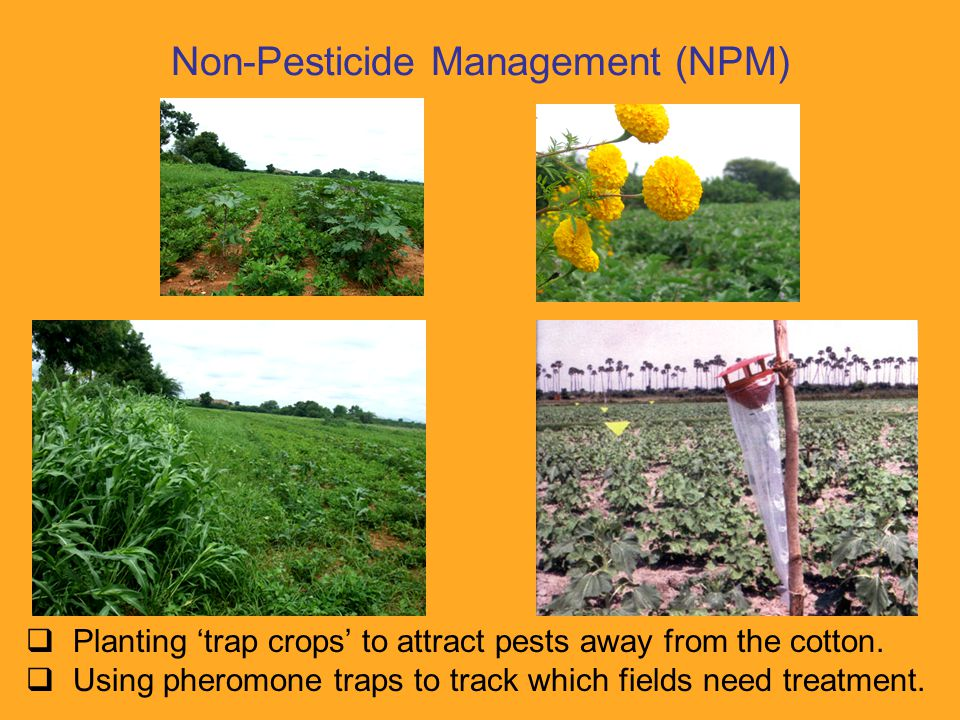  Planting 'trap crops' to attract pests away from the cotton.