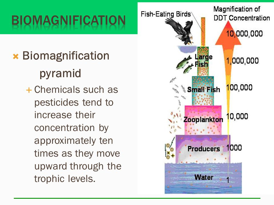  Biomagnification pyramid  Chemicals such as pesticides tend to increase their concentration by approximately ten times as they move upward through the trophic levels.