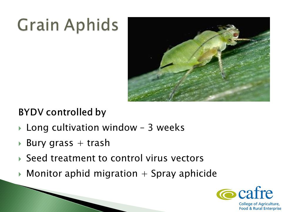 BYDV controlled by  Long cultivation window – 3 weeks  Bury grass + trash  Seed treatment to control virus vectors  Monitor aphid migration + Spra