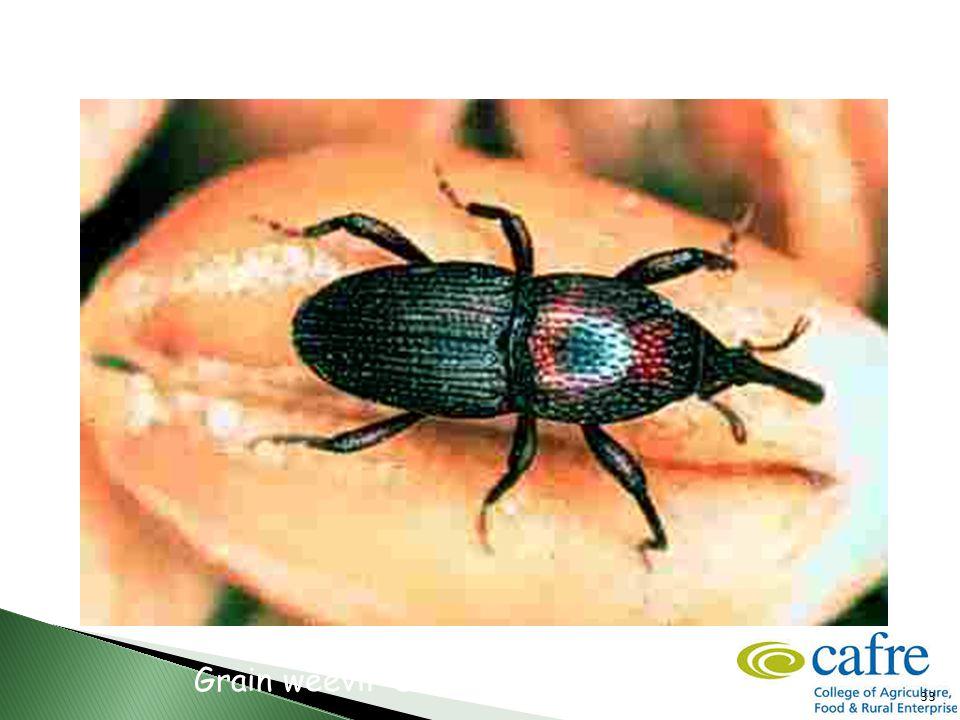 33 Grain weevil -Sitophilus granarius
