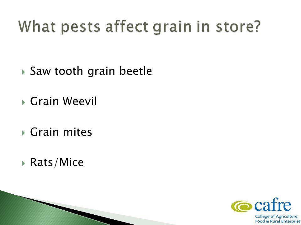  Saw tooth grain beetle  Grain Weevil  Grain mites  Rats/Mice