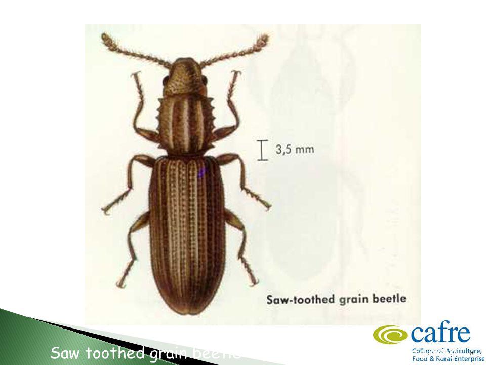 8 Saw toothed grain beetle – Oryzaephilus surinamensis