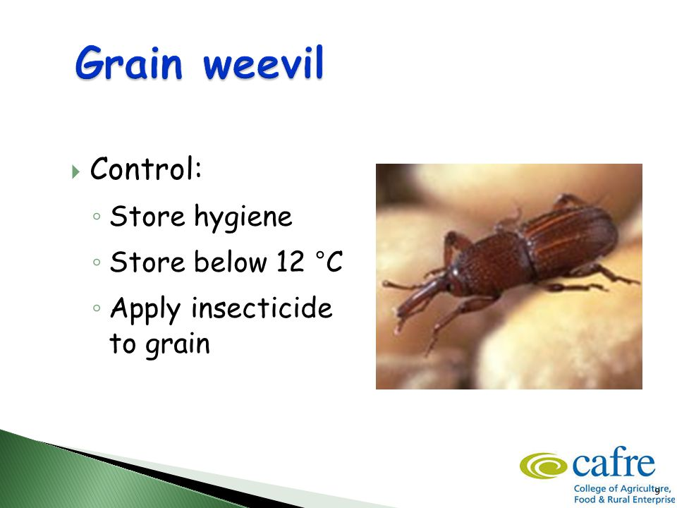 9  Control: ◦ Store hygiene ◦ Store below 12 °C ◦ Apply insecticide to grain