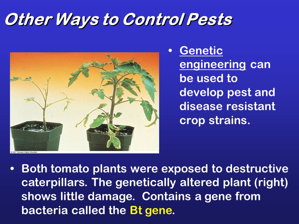 Other Ways to Control Pests Genetic engineering can be used to develop pest and disease resistant crop strains. Both tomato plants were exposed to des