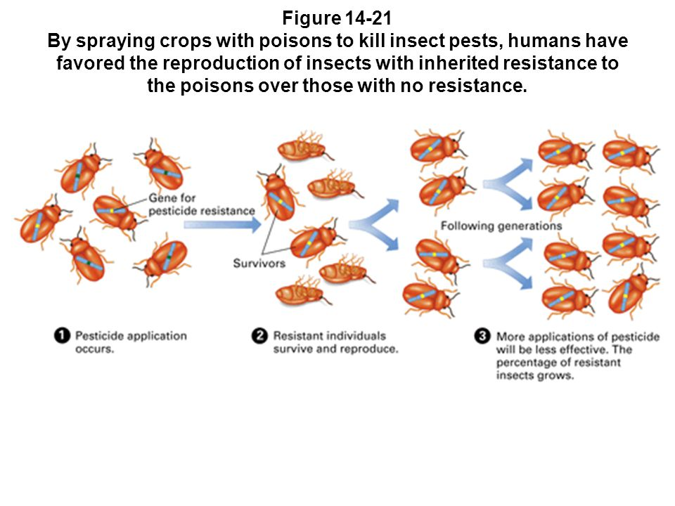 Figure 14-21 By spraying crops with poisons to kill insect pests, humans have favored the reproduction of insects with inherited resistance to the poi